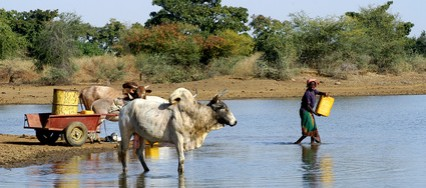 Des vaches pour lutter contre famine au Sahel